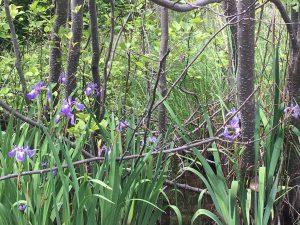 July 18 Wild Iris on Michipicoten Island