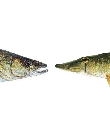 Walleye or Pickerel?